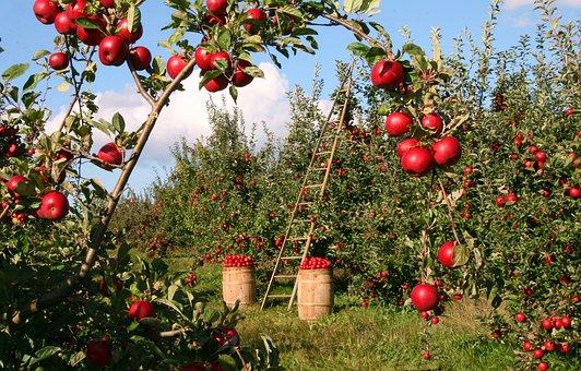リンゴ農園